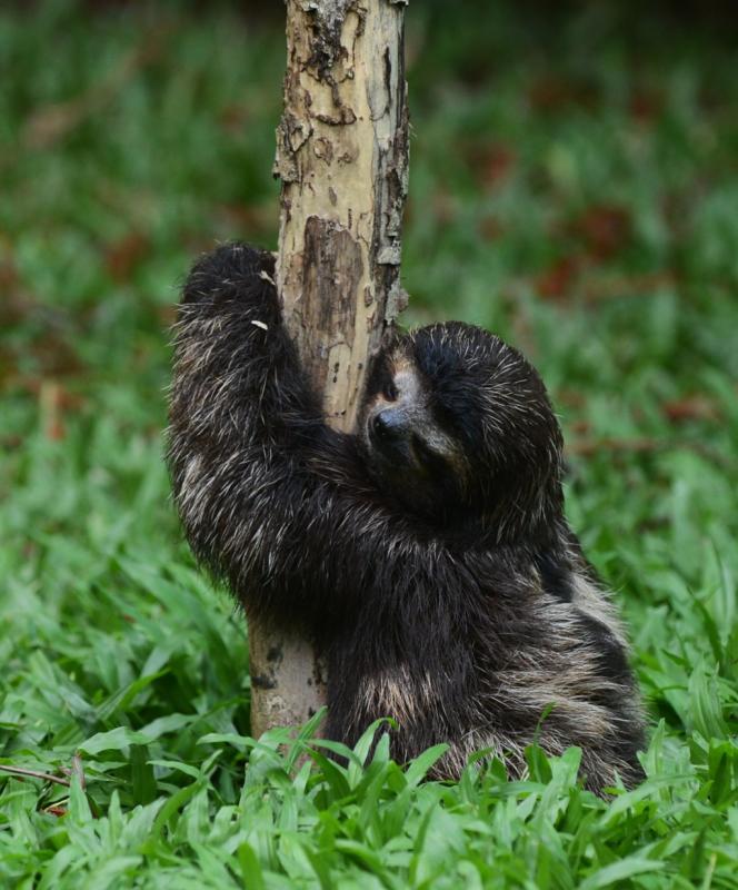 La fourrure des paresseux à trois doigts se caractérise par une biomasse de papillons et d'algues.