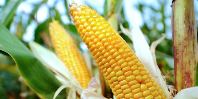 Un champ de maïs à Godewaersvelde, dans le Nord.