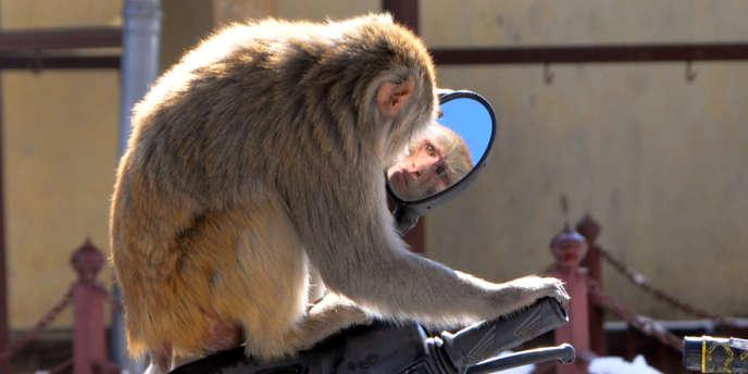 Un singe à Shimla, au nord de l'Inde, le 16 février.
