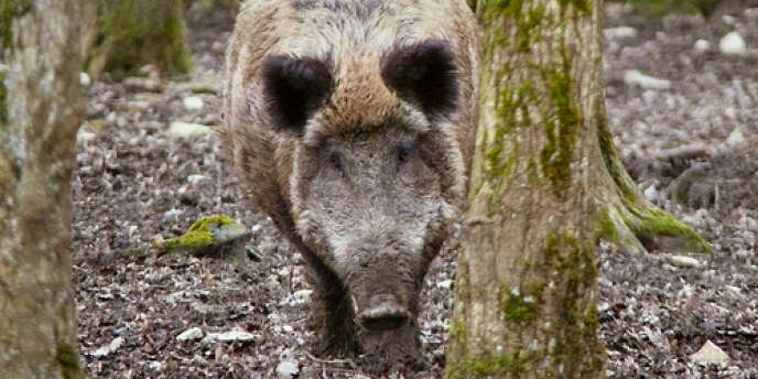Un premier cas de peste porcine africaine a été détecté en Pologne.