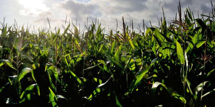 Une nouvelle proposition de loi interdisant la culture du maïs transgénique en France va être déposée par le groupe PS à l'Assemblée.