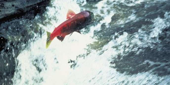 Un saumon remonte un torrent, en Alaska.