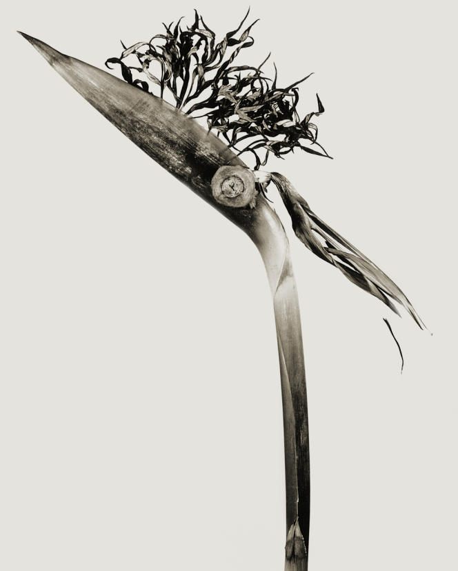 """Herbarium"", Giliandria escoliforcia, 1984. Tirage gélatino-argentique"