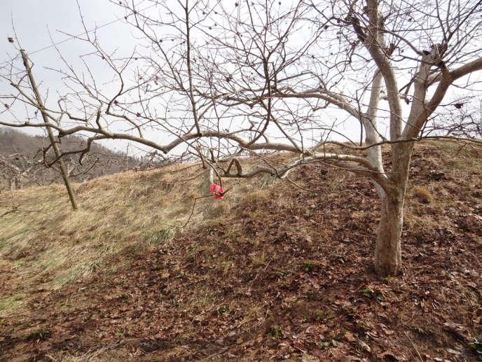 Dans la préfecture de Fukushima, ces marques rose sur les arbres indiquent que le zone est en train d'être décontaminée.