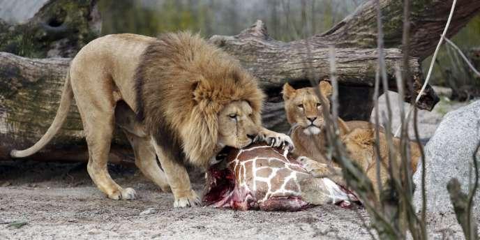 Des lions mangent le girafon euthanasié début février au zoo de Copenhague.