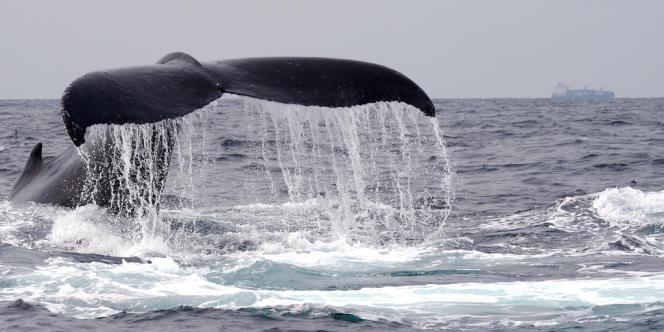 Une baleine au large du Gabon, en juillet 2013.