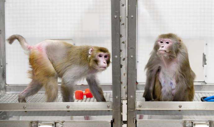 Des macaques rhésus dans l'université américaine de Wisconsin-Madison, en mai2009.
