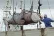 Une baleine pêchée par un navire japonais en septembre 2013.