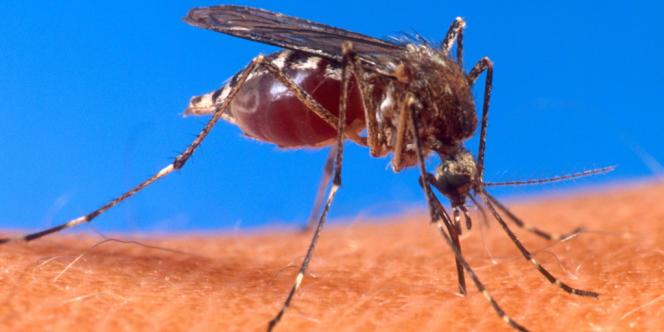 Un moustique de l'espèce «Aedes aegypti», vecteur du chikungunya.