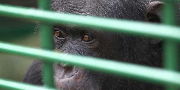 Un chimpanzé confisqué dans un zoo au Liban, le 14 avril.