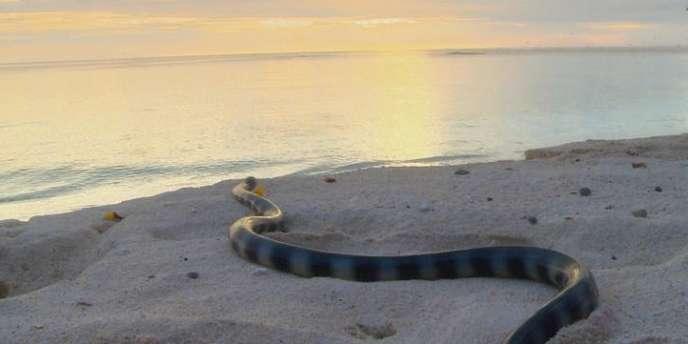 Ces serpents aquatiques appelés