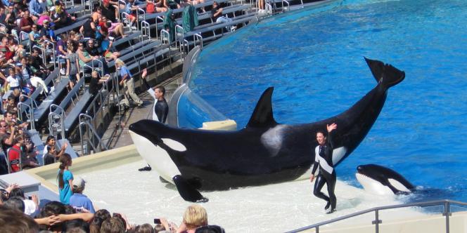 Deux orques du parc Seaworld de San Diego, en Californie, lors d'une performance.