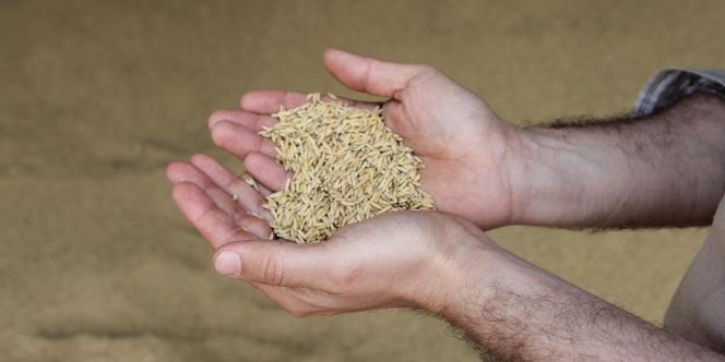 En Camargue, quelque 230 riziculteurs exploitent près de 12 000 hectares.