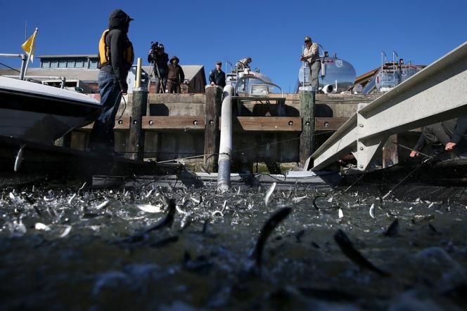 Les autorités doivent acheminer plus de 25 millions d'alevins depuis les cinq écloseries de l'Etat situées dans Central Valley, au cœur de la Californie, jusqu'à la baie de San Francisco sur l'océan Pacifique.