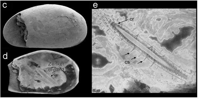 Les spermatozoïdes fossilisés les plus anciens jamais découverts sont plus grands que les crustacés qui les produisaient.