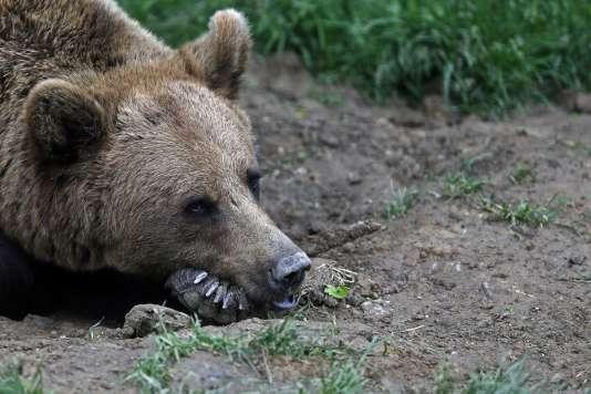 Trois ours, d'origine slovène, avaient été lâchés non loin de la frontière avec l'Espagne en 1996-97. Puis cinq autres en 2006.