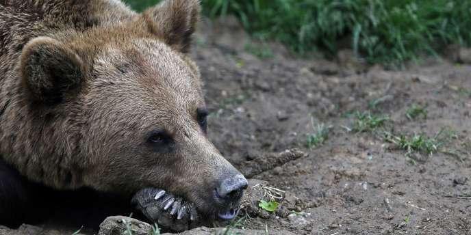 Les adversaires de l'ours, qui ne veulent pas entendre parler de nouvelles réintroductions dans les Pyrénées françaises, risquent d'être pris à revers par un lâcher côté espagnol.