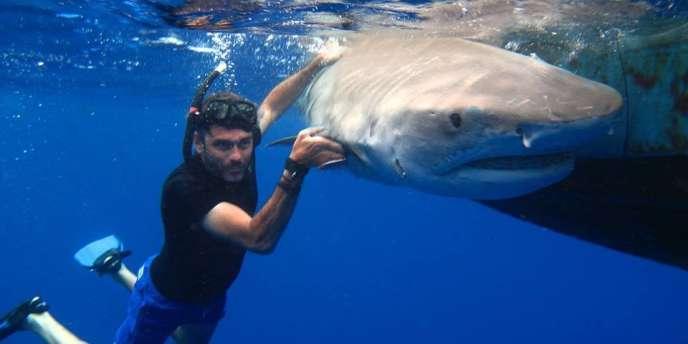 Un requin tigre, capturé par l'équipe du