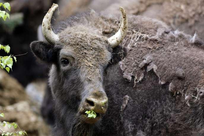 Un bison d'Europe, le 17 mai à Armenis, dans le sud-ouest de la Roumanie.