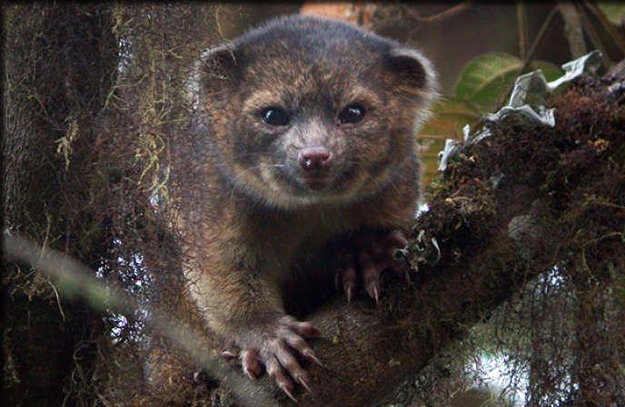 L'olinguito, le chat-ours de deux kilos vivant dans les forêts de Colombie et d'Equateur. Il s'agit du premier mammifère carnivore découvert à l'ouest du méridien de Greenwich depuis trente-cinq ans.
