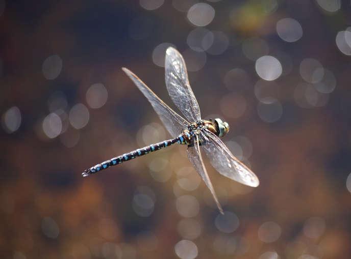 Les insectes, comme cette libellule de l'espèce aeschne des joncs, tirent leur énergie du soleil
