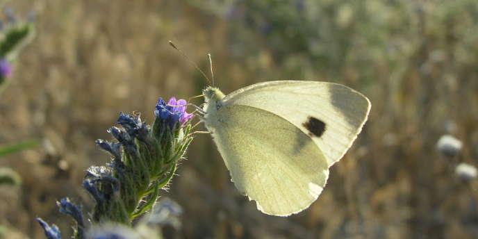 Ce petit papillon méditerranéen, une piéride de l'ibéride, est désormais présent en Allemagne et poursuit sa montée vers le nord.
