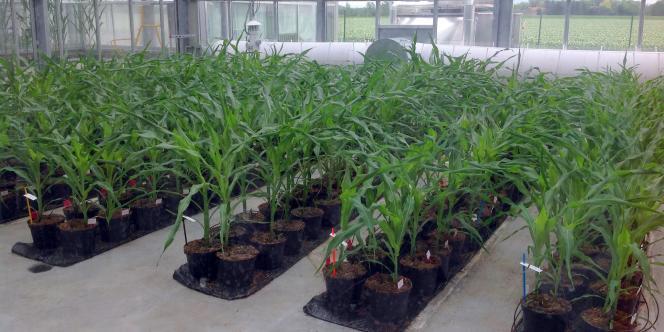 Plantation de maïs génétiquement modifié dans la société de biotechnologies Biogemma, à Chappes, en mai.