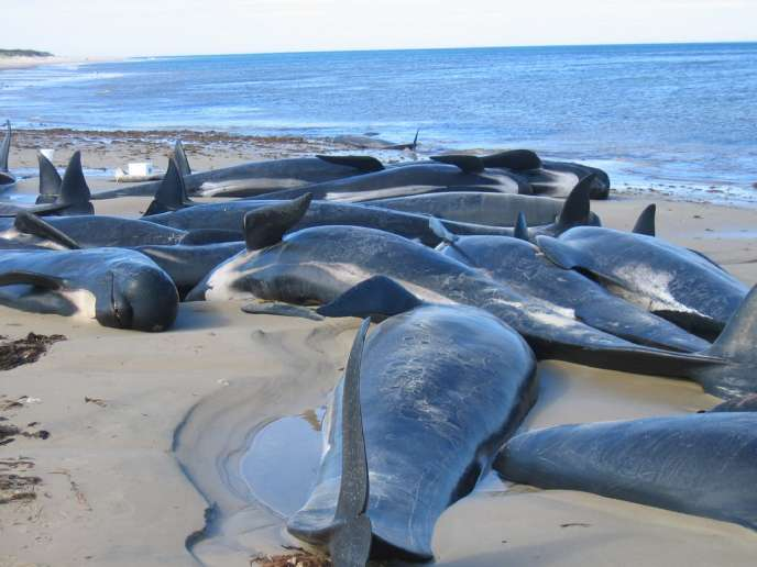 Des carcasses de baleines-pilotes retrouvées sur une plage de Tasmanie en 2004.