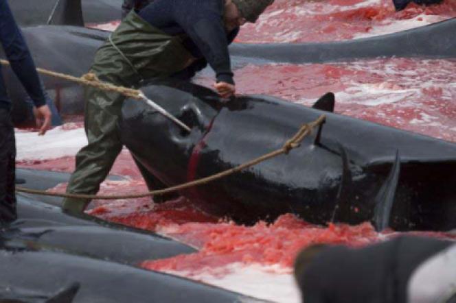 Un grind, un massacre traditionnel des dauphins globicéphales, aux Iles Féroé.