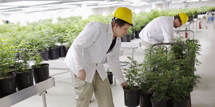 Des pieds de marijuana sont apportés vers une « salle de croissance », le 20 février, au sein de l'entreprise Tweed Marijuana, à Smith Falls, en Ontario.