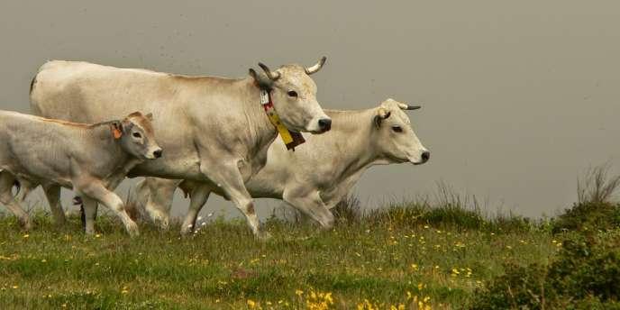 Vaches équipées d'un système de géolocalisation par GPS, au Prat d'Albis, au dessus de Foix (Ariège)