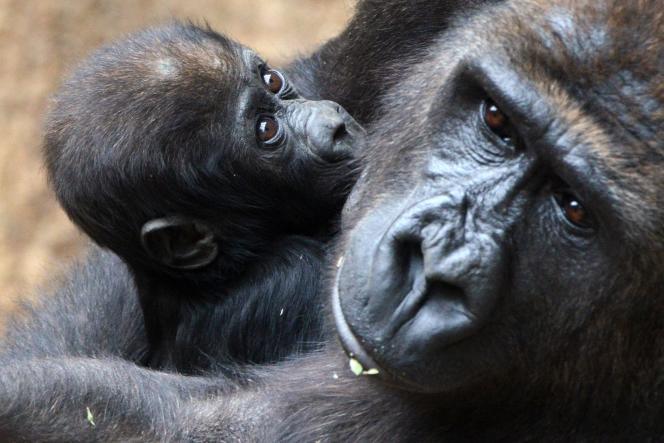 Gorilles dans un zoo de Leipzig en Allemagne.