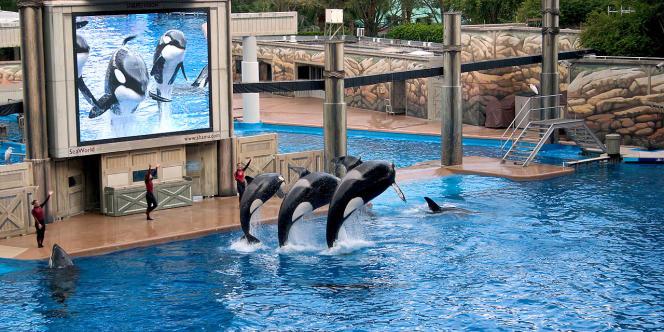 Les orques Ikaika, Katina, and Taku à Seaworld Orlando.
