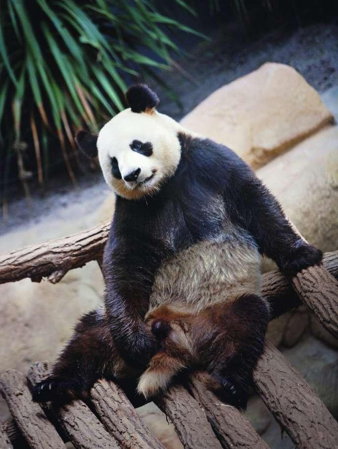 Au terme de longues  négociations avec la Chine, le panda Yuan Zi est arrivé en janvier 2012 au zoo  de Beauval (Loir-et-Cher). Ici, en juillet 2014.