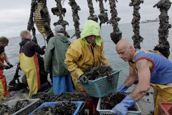 Collecte des nouvelains sur les filières au large afin de remplir les boudins qui seront installés sur les bouchots. Une marée à bord de l'
