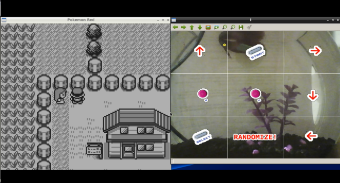 Sur Twitch, des internautes regardent un poisson jouer à Pokémon.