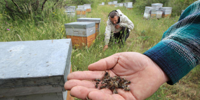 Un apiculteur montre ses abeilles, mortes, à Bouleternère (Pyrénnées Orientales), le 6 juin.