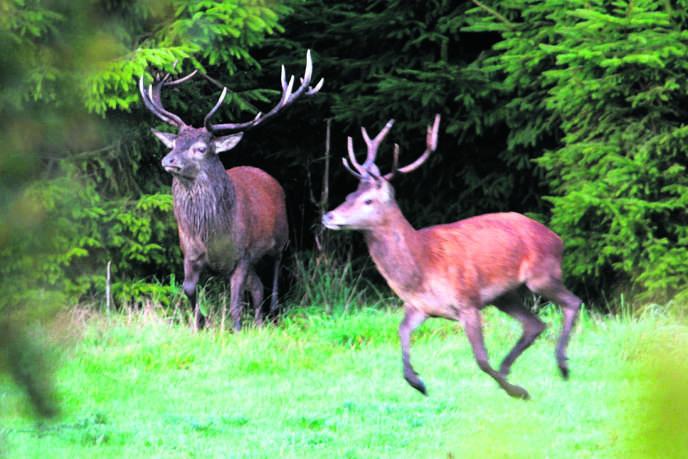 Des cerfs à Exmoor, dans le comté du Devon (ouest de l'Angleterre).