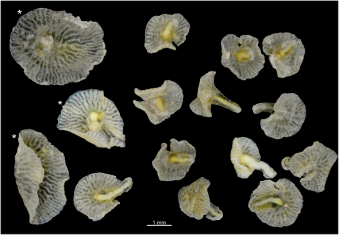 Les deux espèces d'animaux marins à la forme de champignons découvertes dans les profondeurs de l'océan Pacifique.