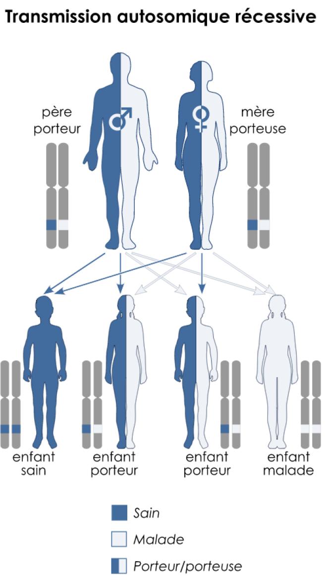 Transmission de la drépanocytose