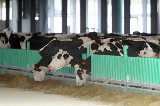 Les vaches fraîchement débarquées à la