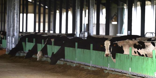 Les 150 premières vaches sont arrivées samedi 13 septembre à la ferme des mille vaches, à Ducrat, dans la Somme.