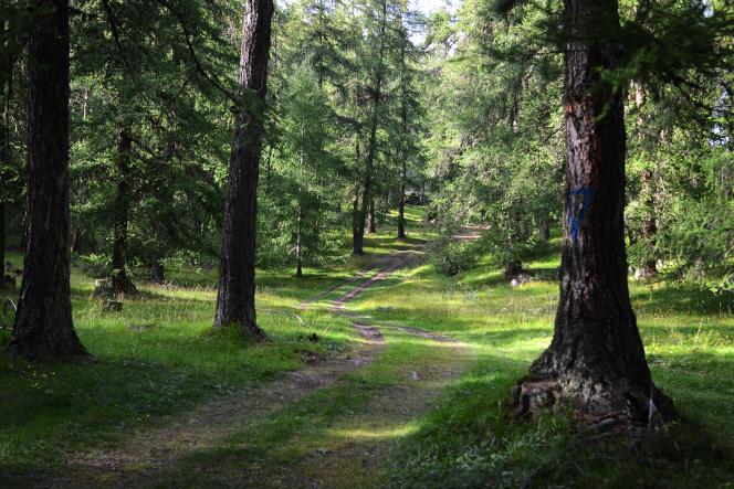 Mélézin géré par l'ONF dans les montagnes des Hautes-Alpes, près d'Embrun.