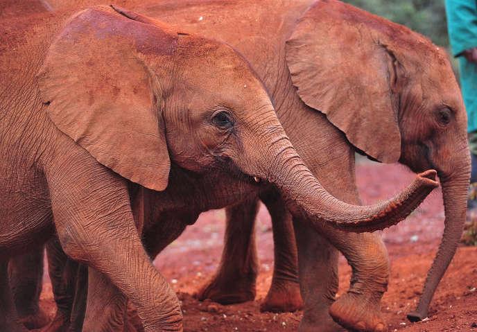 Cent mille éléphants ont été tués en trois ans, entre 2010 et 2012.