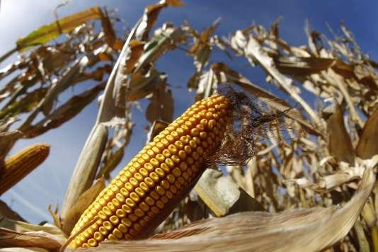 Champs de maïs dans l'Illinois, en 2014.