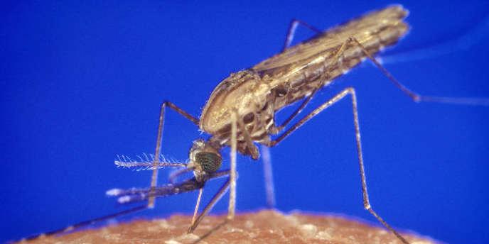 Des chercheurs de l'Institut Pasteur ont filmé une piqûre de moustique.