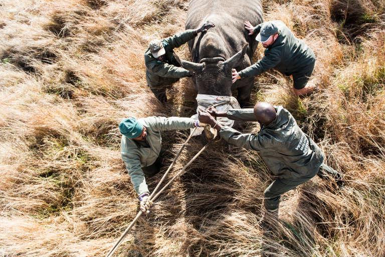 Des vétérinaires du parc Kruger déplacent un rhinocéros blanc sous sédatif, afin de le protéger des braconniers, le 17 octobre 2014.
