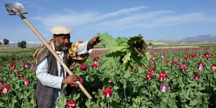 Un champ de pavot à opium en Afghanistan en avril 2014.