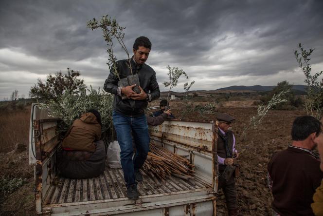 A Yirca, le 9 novembre 2014. Des habitants tentent de replanter des oliviers après l'arrachage, dans la nuit du 6 au 7 novembre de plusieurs centaines d'arbres par la société Kolin, qui prévoit d'y construire une centrale à charbon.