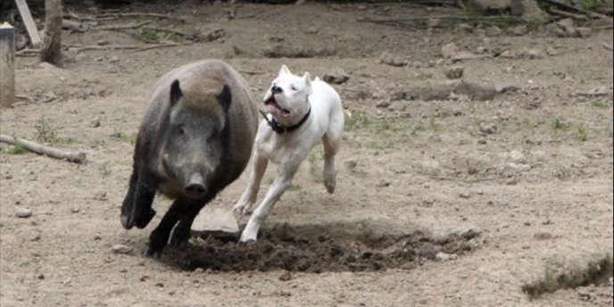 Un dogue argentin poursuit un sanglier dans un enclos.